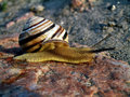 Free Brown Snail On A Stone Stock Images - 14580654