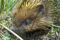 Free Close Up Picture Of A Hedgehog Hiding In The Grass Royalty Free Stock Images - 14581709