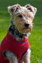 Free Portrait Of A Dog In A Cute Dress Stock Photos - 14581793