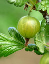 Free Gooseberries Stock Photography - 14584392