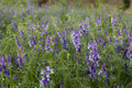 Free Purple Flower Field Stock Photos - 14585223