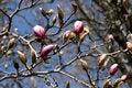 Free Magnolia Stock Photography - 14589682