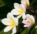 Free White Frangipani Flower Royalty Free Stock Image - 14589996