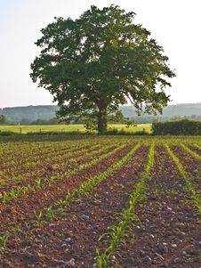 Free Farm Staffordshire Countryside Oak Tree Royalty Free Stock Photo - 14580015