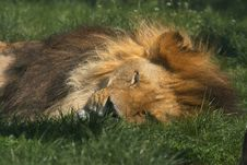 Free Sleeping Lion Royalty Free Stock Image - 14581106
