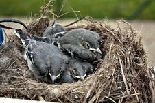 Free Chicks Wagtails Royalty Free Stock Images - 14581439