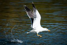 Free Sea Gull Royalty Free Stock Images - 14581469