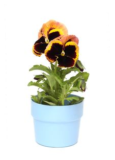 Free Pansy Royalty Free Stock Image - 14581526