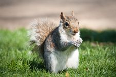 Free A Hungry Squirrel Stock Photos - 14581553