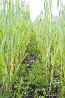 Free Wheat Ears Field Royalty Free Stock Photography - 14581647