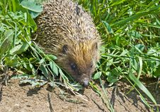 Free Hedgehog In The Grass Stock Images - 14581734