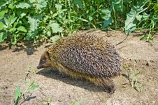 Free Hedgehog Walking Into The Grass. Focus On Needles Stock Image - 14581761