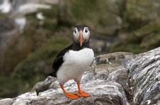 Free Puffin During The Breeding Season Royalty Free Stock Image - 14581886