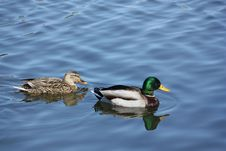 Ducks Swimming In A Pond Stock Photography