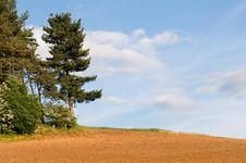 Free Pine By The Field Royalty Free Stock Photography - 14582137