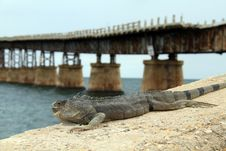 Free Lizard With Bridge Royalty Free Stock Image - 14582186