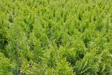 Green Thuja Bacground Stock Images