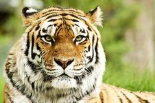 Siberian Tiger (Panthera Tigris Altaica) Royalty Free Stock Image