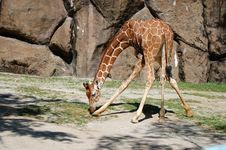 Free Giraffe Stock Photo - 14583190
