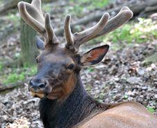 Free An Elk In Velvet Royalty Free Stock Photos - 14583398