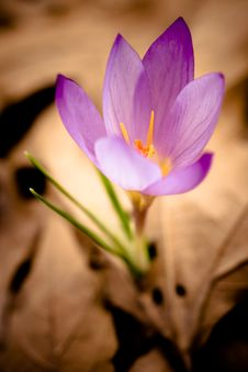 Free Crocus In Spring Royalty Free Stock Photos - 14584298