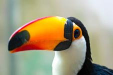 Free Toucan Stock Photos - 14584463