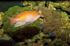 Free Orange Anthias In Aquarium Royalty Free Stock Image - 14585486