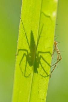 Lynx Spider And Shadow Stock Images