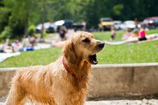 Free Golden Retriever Royalty Free Stock Photos - 14585548