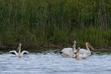 Free Great White Pelicans Stock Photo - 14585660