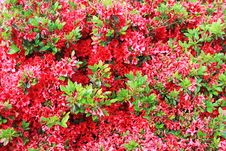 Free Bed Of Red Flowers Royalty Free Stock Image - 14586136