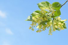 Beautiful Flowerses Tree Limes Royalty Free Stock Image
