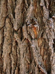 Free Bark  Tree  Oak Stock Image - 14586921