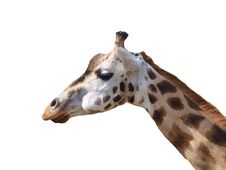 Free Giraffe On The White Background Royalty Free Stock Images - 14587059