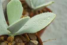 Wet Succulent Leaves Royalty Free Stock Photo