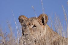 Free Lion Stock Photography - 14587562