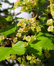 Blossom Of Currant Royalty Free Stock Photos