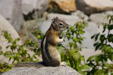Free The Chipmunk Royalty Free Stock Photos - 14588128