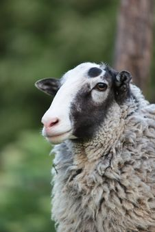 Free Sheep. Royalty Free Stock Images - 14588219