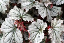 Angel-wing Begonia Stock Photos
