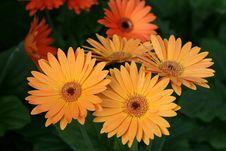 Free Herbera Daisy Stock Image - 14589651
