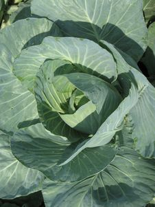Green Cabbage Head Stock Images