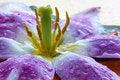 Free Tulip Bud Royalty Free Stock Photo - 14592905