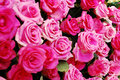 Free Pink And Red Rose Royalty Free Stock Images - 14595059