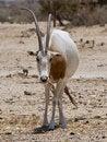 Free Sahara Oryx Royalty Free Stock Photography - 14595937