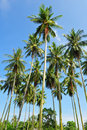 Free Coconut Trees On The Island Royalty Free Stock Image - 14599746
