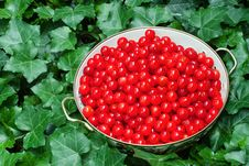 Free Freshly Picked Cherries Royalty Free Stock Photo - 14590105