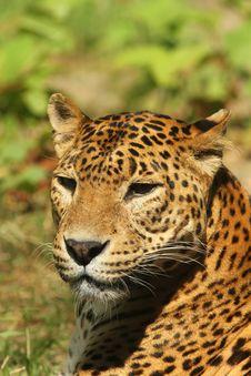 Free Portrait Of A Leopard Stock Image - 14592211