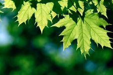 Free Green Maple Leaf Stock Image - 14592891