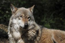 Detail Of Eurasian Wolf Stock Images